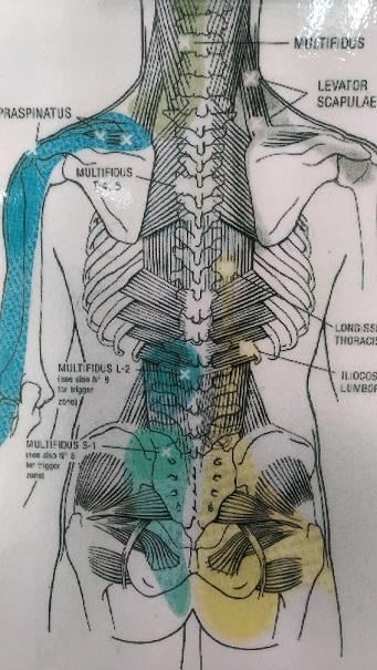 背骨と筋肉の図.jpg